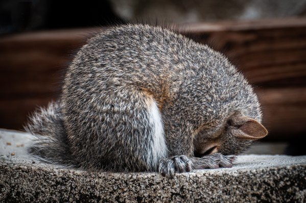Sleepy Baby Squirrel thumbnail