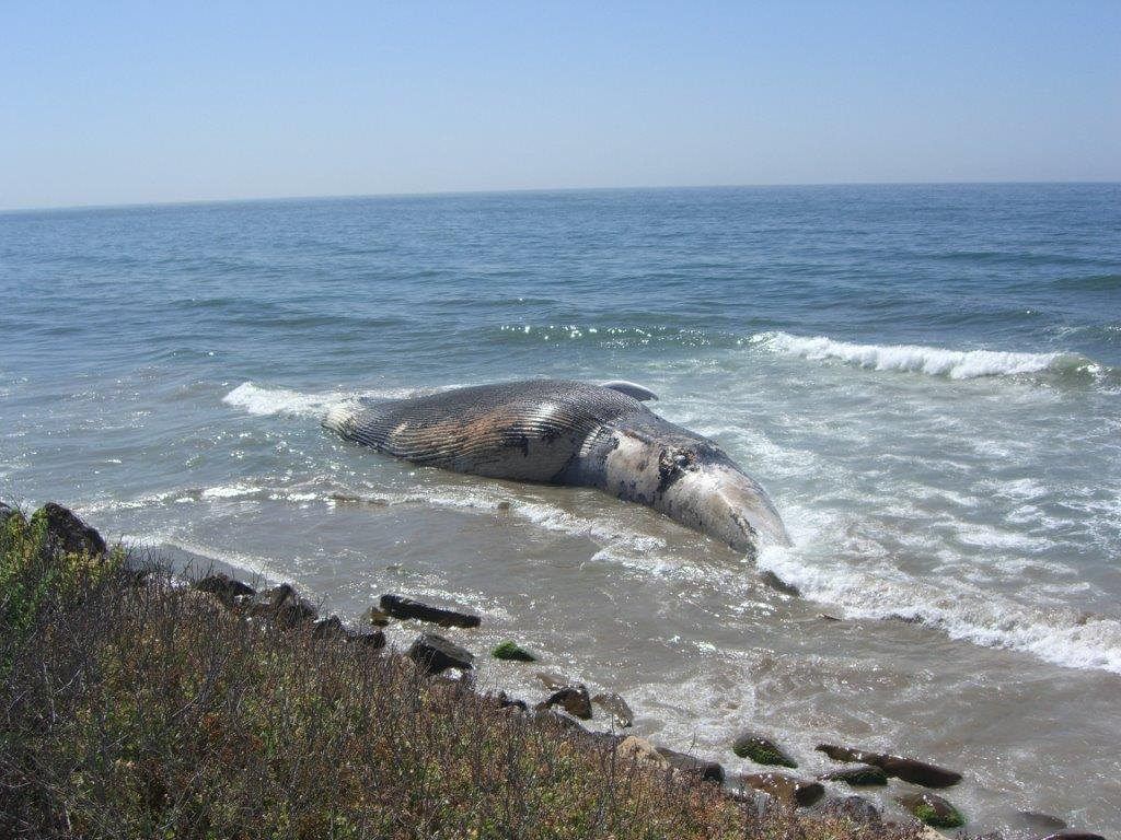Blue Whale Earwax Reveals Pollution Accumulated Over a Lifetime