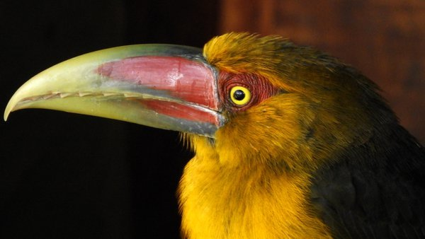 Big collored beak. thumbnail