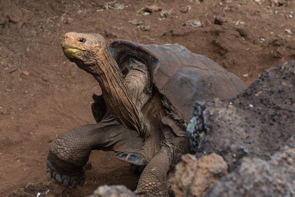 Galapagos Tortoise at Speed thumbnail