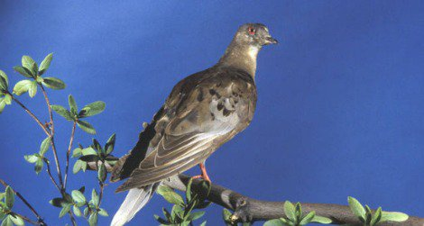 Martha, the last surviving member of the passenger pigeon species