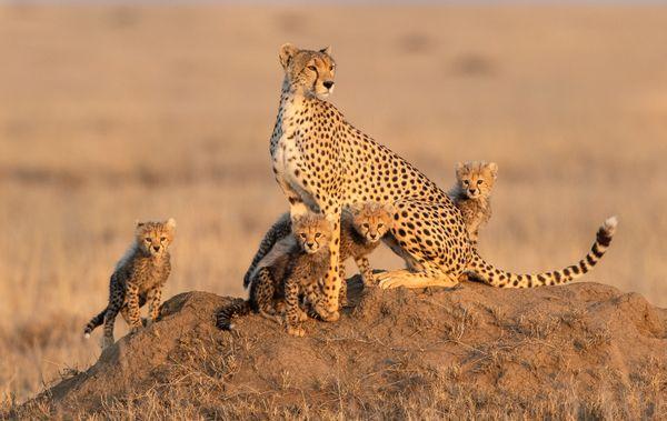 Cheetah Family thumbnail