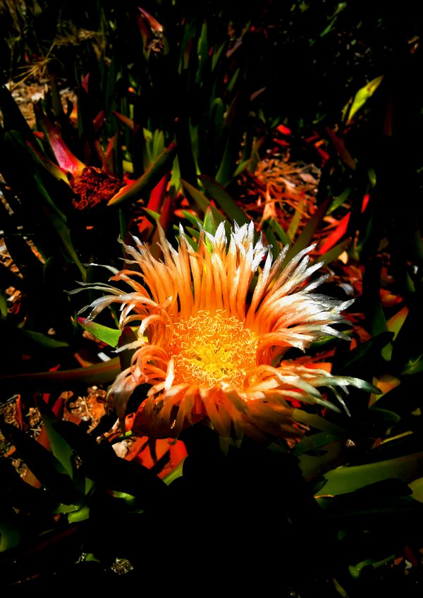 A beautiful wild flower glowing on the beach thumbnail