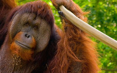Adult male orangutans have large cheek pads and a big throat pouch, but it can take decades to develop such traits.