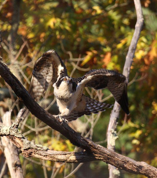 Osprey Taking Flight thumbnail