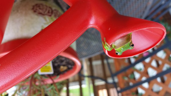 Tree Frog in Watering Can thumbnail