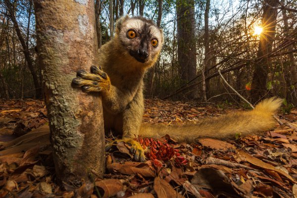 Red-Fronted Lemur thumbnail