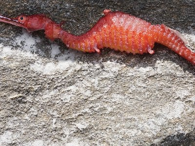 A ruby seadragon, Phyllopteryx dewysea that washed up on the Point Culver cliffs in Western Australia.