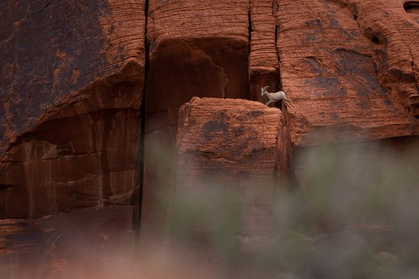 Female Bighorn Sheep playing on the rocks at Valley of Fire.