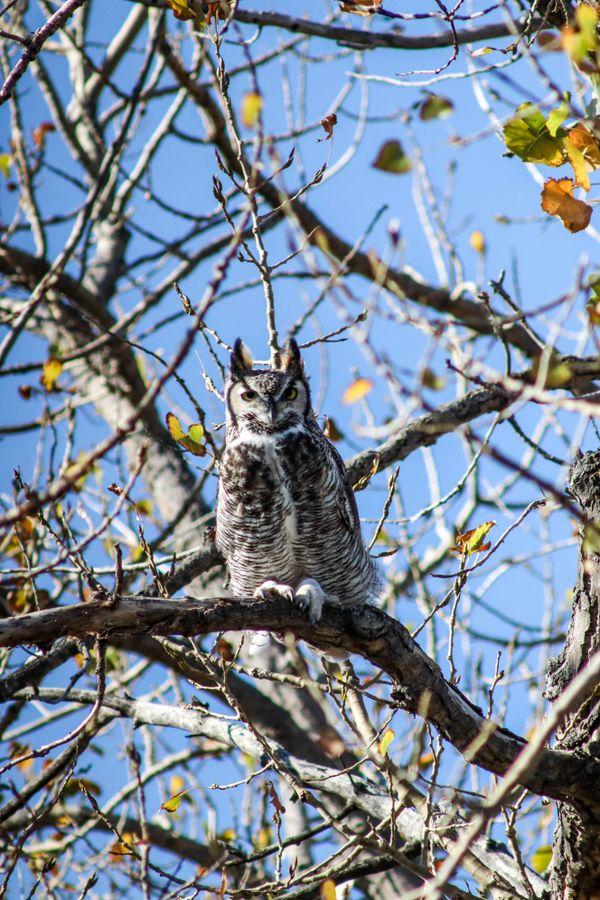 Owl Stare thumbnail