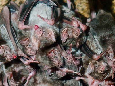 Vampire bats, a highly social species, will continue interacting with each other even when they're feeling sick.