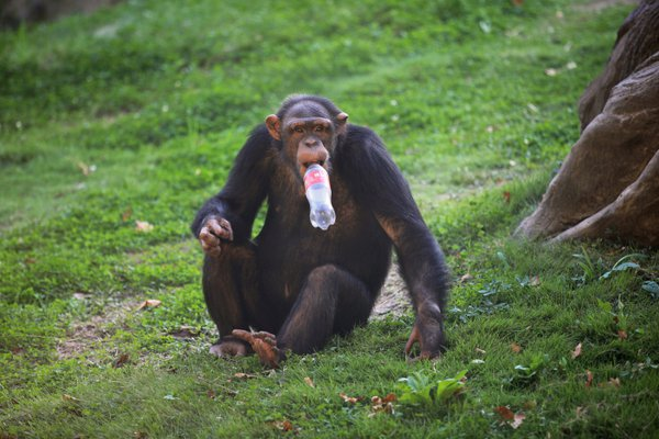 A chimpanzee having a littered cola bottle in its mouth thumbnail