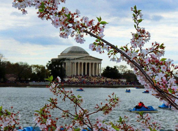 Cherry Blossoms and the Jefferson Memorial thumbnail