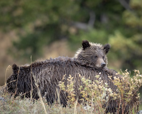Grizzly Mom and Cub resting in the rain thumbnail