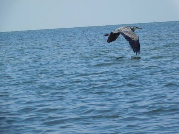 Blue Heron across the Chesapeake Bay thumbnail