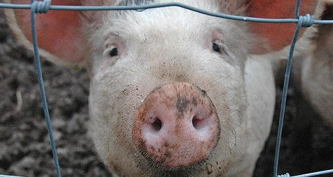 Pigs were domesticated in several different regions of the world.