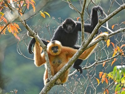 Female Hainan gibbons are bright yellow with black patches while males are completely black.