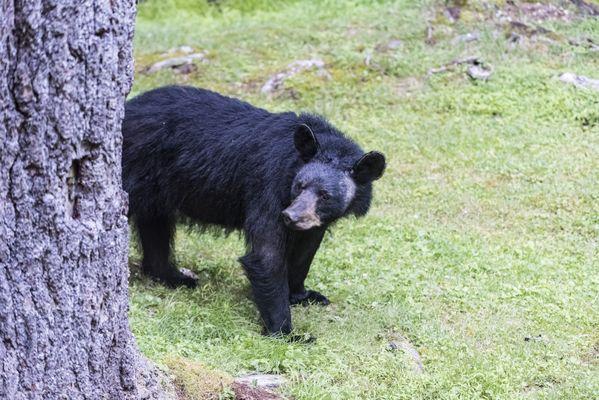 Black bear in Watoga State Park thumbnail