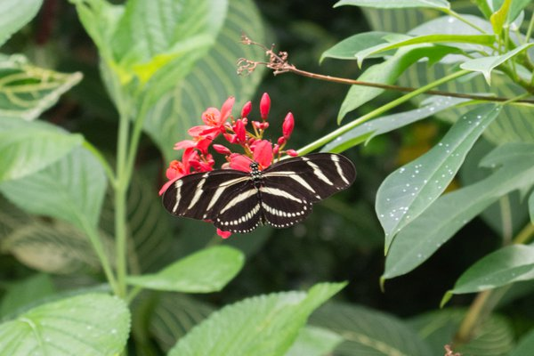 Zebra Butterfly thumbnail