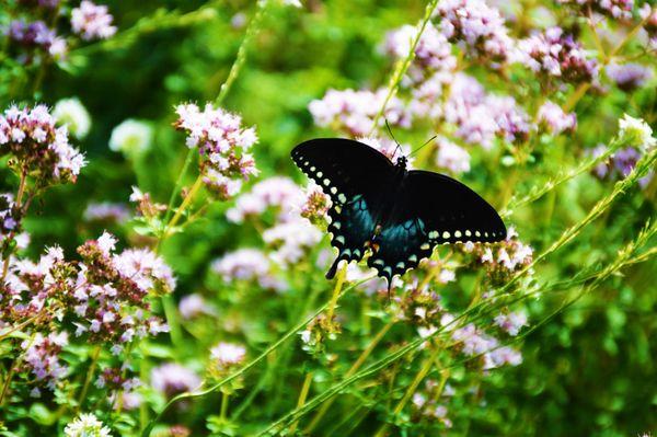 Spicebush Swallowtail Butterfly thumbnail