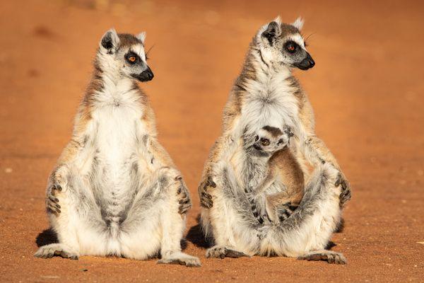 Sunning Lemur Family thumbnail