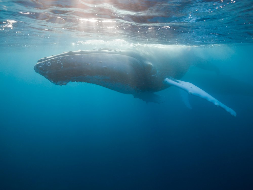 Humpback whale basking in light at the surface