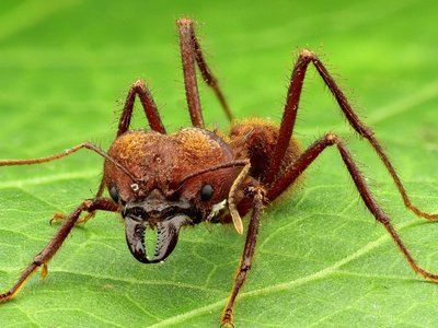 Heavy metal-fortified mandibles help leafcutter ants save energy and muscle mass.