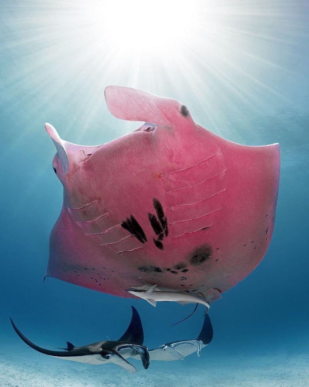 Rare Pink Manta Ray Spotted Near Australia's Lady Elliot Island