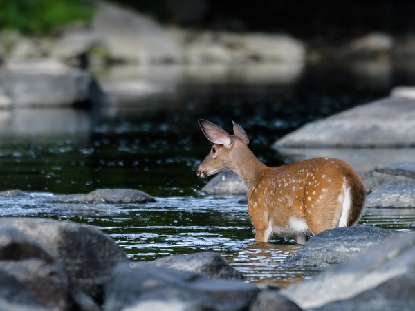 Fawn Contemplating a Crossing thumbnail