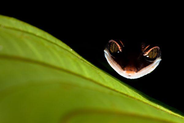 Cheshire Gecko thumbnail