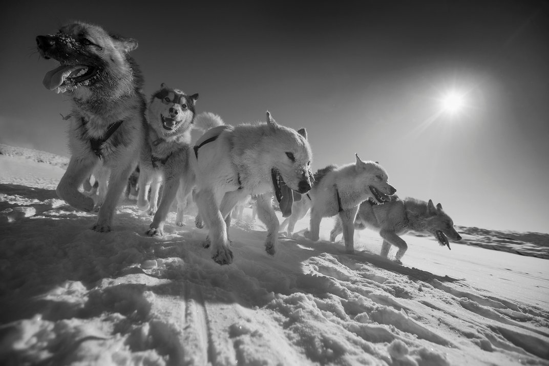 Husky Ancestors Started Hauling Sleds for Humans Nearly 10,000 Years Ago