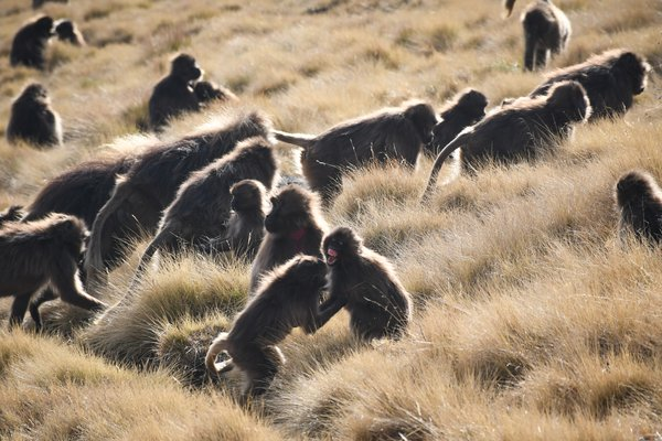 Gelada baboon babies playing thumbnail
