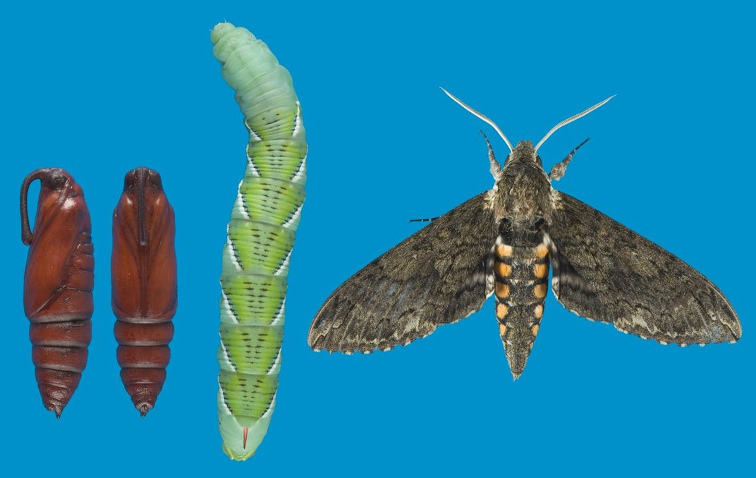 Two cacoons, a caterpillar and a moth on blue background