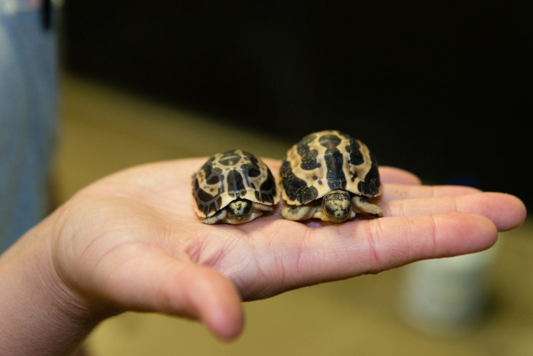 Two small spider tortoises rest on an animal keeper's open palm. The tortoise on the left is slightly smaller than the tortoise on the right.