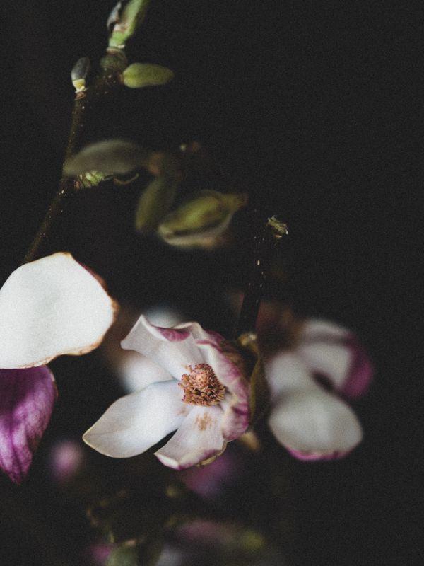 magnolia bloom (III) thumbnail
