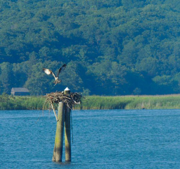 Osprey building nest thumbnail