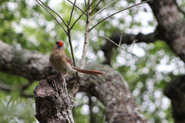 A female cardinal watches her family  thumbnail