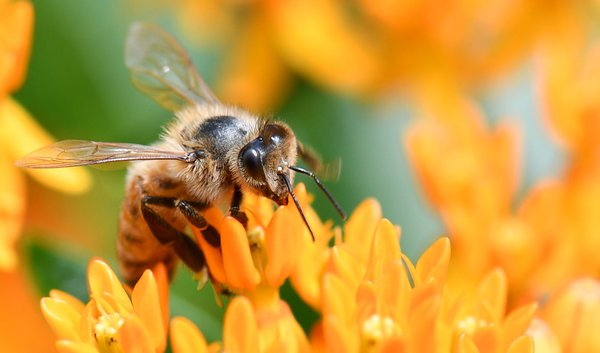 Honeybee on butterfly weed thumbnail