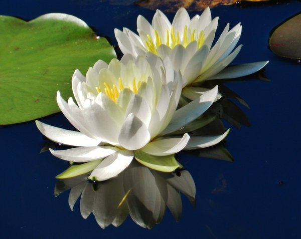 Rieve's Pond Water Lily Pair  thumbnail