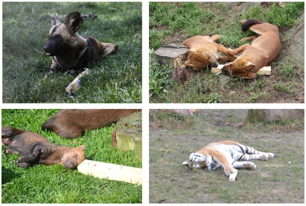 All four groups of carnivores loved their bloody-smelling blocks. Credit: Nilsson et al (2014) PLoS One