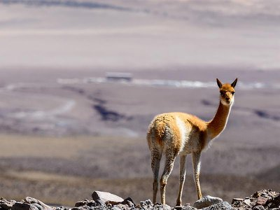 As the price of their wool rises, vicuñas, like the one picture here near the ALMA telescope in Chile, faces threats from poaching gangs.