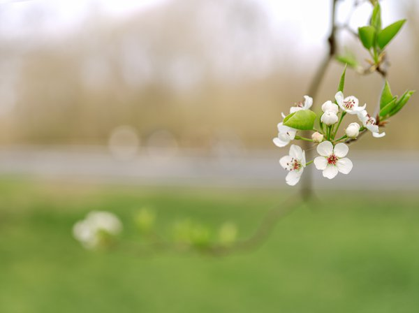 A Crabapple Blossom in the North Meadow, Central Park thumbnail
