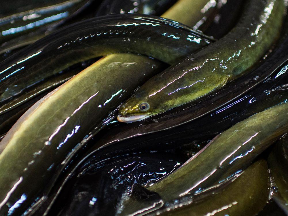 The American eel fishery