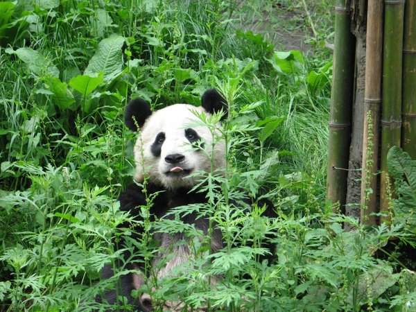 Giant Panda sitting in yard at the Wolong Panda Reserve. thumbnail