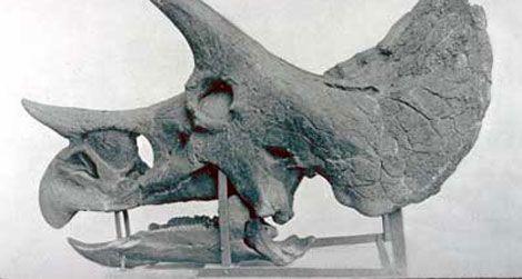 20110610094006triceratops-skull.jpg