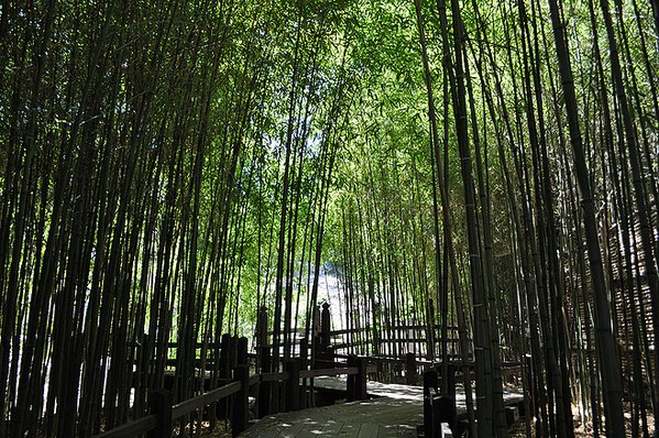 Bamboo plants in the Chinese Garden at Huntington thumbnail
