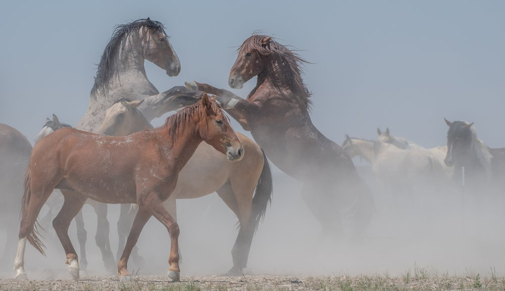 This photo shows two stallions of the Onaqui wild horse herd in Utah trying to assert their dominance. Thankfully, no horses were hurt during this altercation.