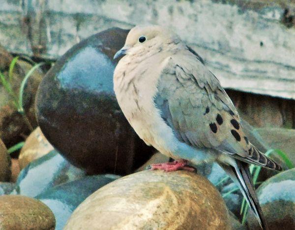 Morning Dove thumbnail
