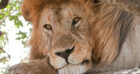lion-travel-470.jpg