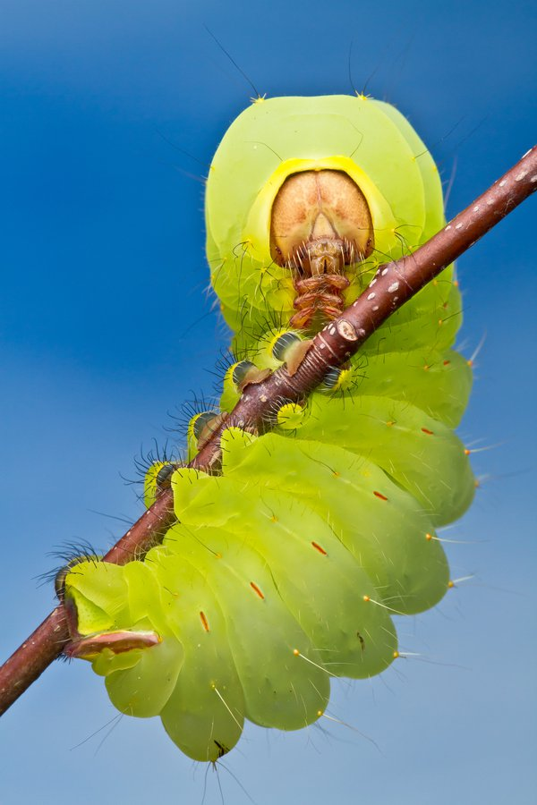 Antheraea polyphemus caterpillar striking a rather devious looking pose thumbnail